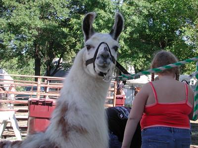 Llama lookin at me
