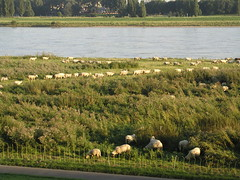 Rhine Sheep 0805 007