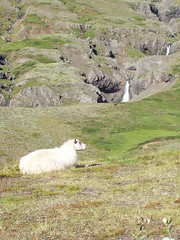 Icelandic Sheep on the Fagridalur Pass