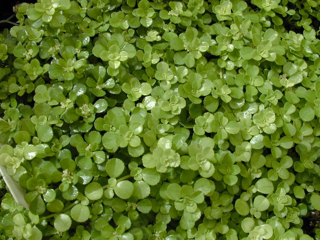 Wheaton college greenhouse pilea depressa for Plante pilea