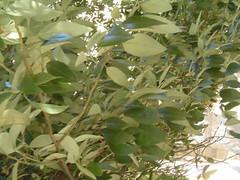 hojas de la lagunaria