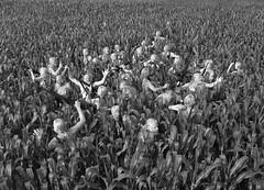 cornfield-LRG_BW