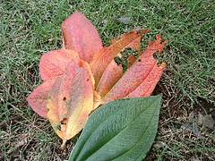 シコンノボタンの葉