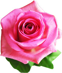 Pink beautiful rose