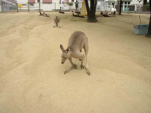 grandpa kangaroo