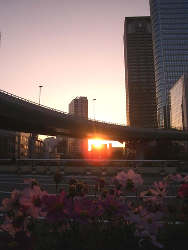 Sunset & asters in downtown 夕暮れ時のコスモス