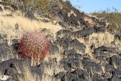 Barrel cactus, grass and lava