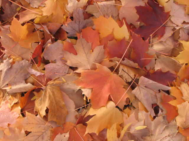Orange Maple Leaves on the Ground