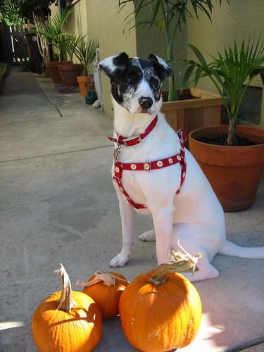 Halloween Trixie