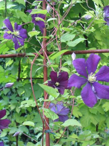'Etoile Violette' Clematis