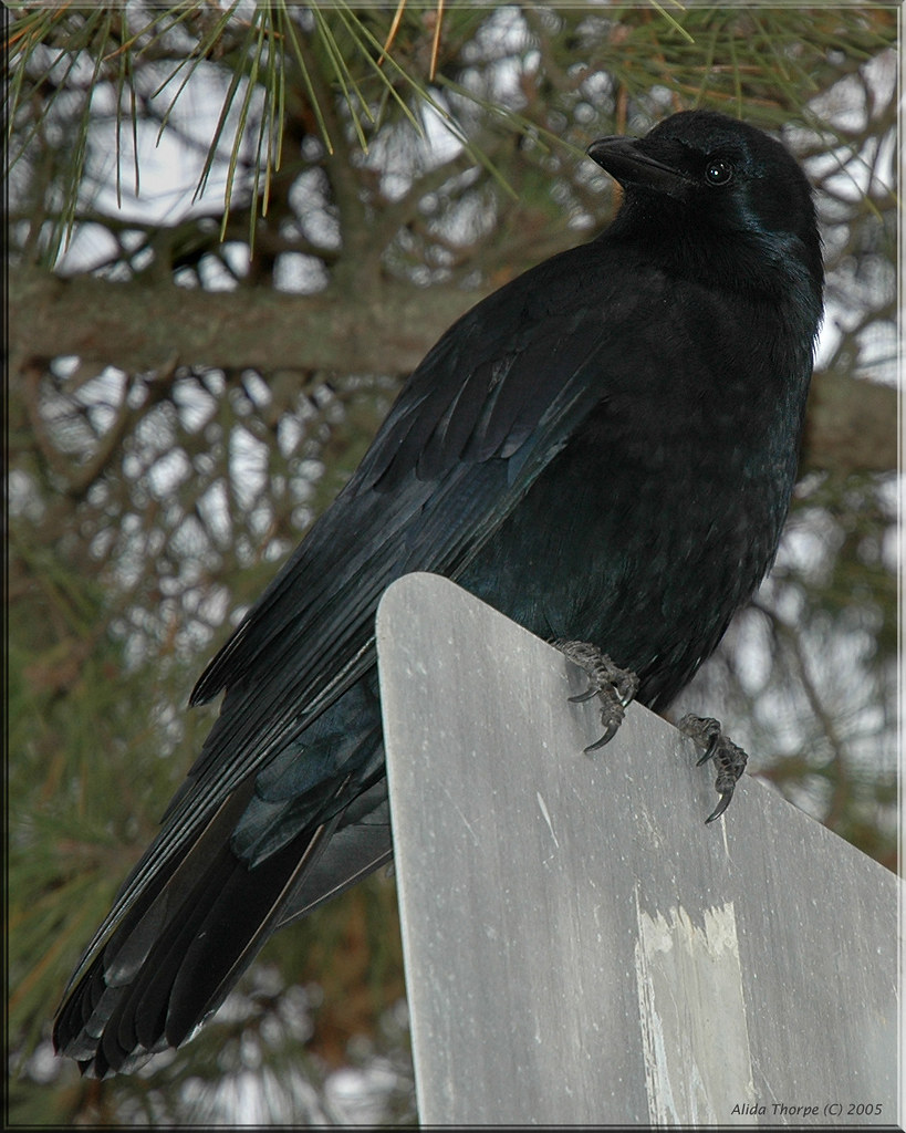 crow on Long Island