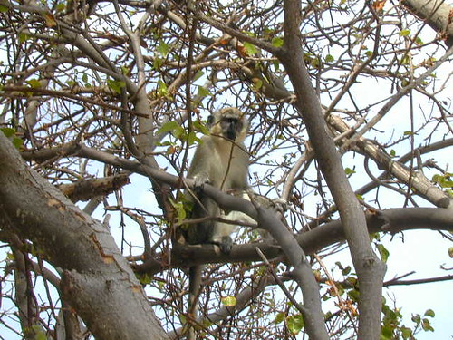 green vervet monkey in tree