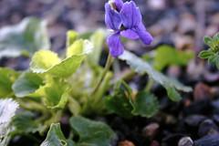 winter's violet