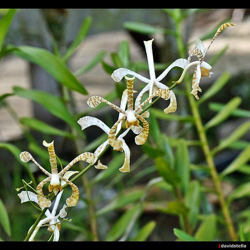arachnis hookeriana