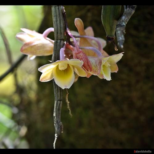 Dendrobium lampongense {The Lampong Dendrobium}