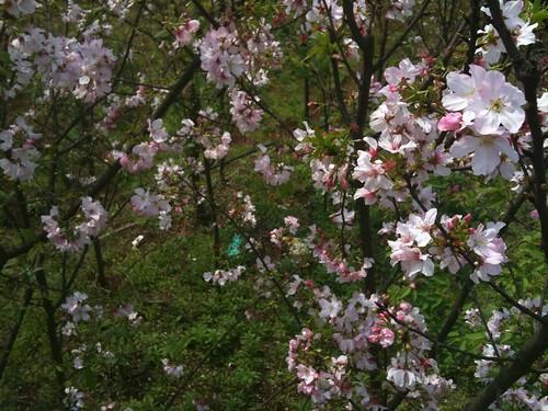 三芝路邊櫻花