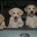 5-pups-in-car