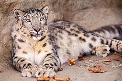 Lying comfortably photo by Tambako the Jaguar