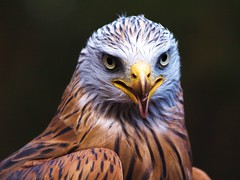 Portrait of a Red Kite = Rotmilan photo by Andy von der Wurm