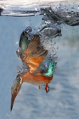 Kingfisher underwater photo by Ady G.