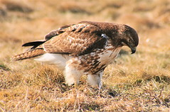 SP Red Tail Hawk 2-10. photo by monteverde2000