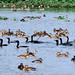 Santragachi Jheel - Laser Whistling Ducks & Cormorants - Migratory Birds