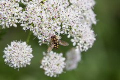 Hover Fly (Eupeodes corolla) photo by DoctorTimbo