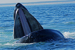 Humpback Whale photo by Dave 2x