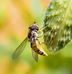 YELLOW AND BLACK HOVERFLY photo by scott1723