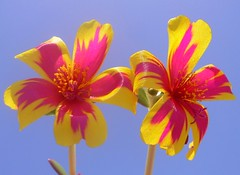 Portulaca flowers photo by Luigi Strano