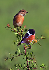 Stonechats photo by RobMcA Photography