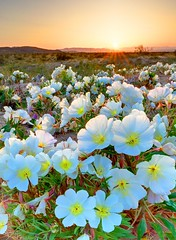 Desert Tissue Spring Flowers Joshua Tree National Park photo by Ireena Eleonora Worthy