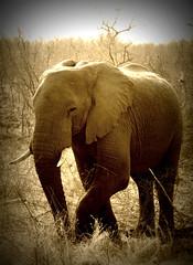 African Elephant photo by *Kicki*