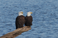 Starved Rock Bald Eagle Pair photo by Hard-Rain