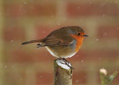 Robin photo by Diana Mower