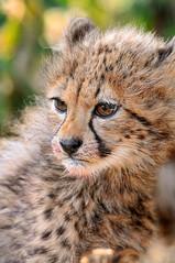 Bloody cub! photo by Tambako the Jaguar