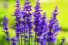 Beautiful Lavender photo by -clicking-