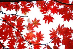 Beautiful Maple 天花亂墜 photo by Melinda ^..^