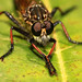 Sneaky Robber Fly