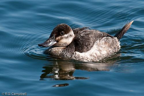 Ruddy Duck-7874