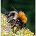 Moss carder bee (Bombus muscorum) Mosshumla