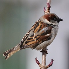 Sparrow photo by Diana Mower