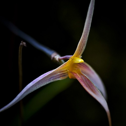 bulbophyllum macrochilum {large-lipped bulbophyllum}