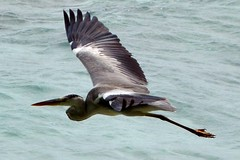 Birds of Maldives (Grey Heron) photo by lovelyzz
