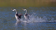 Western Grebes Courtship Dance photo by flythebirdpath~}~}~}