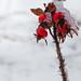 Frozen Wild Rosehips
