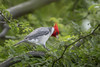 Red- crested Cardinal