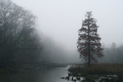 Bald Cypress in Morning Fog photo by semprebon
