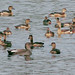 Santragachi Jheel - Laser Whistling Ducks & Gadwall Duck - Migratory Birds