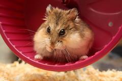 Hamster in a wheel photo by captainmcdan